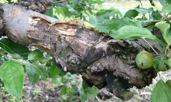 Konieczna ochrona przed chorobami kory i drewna