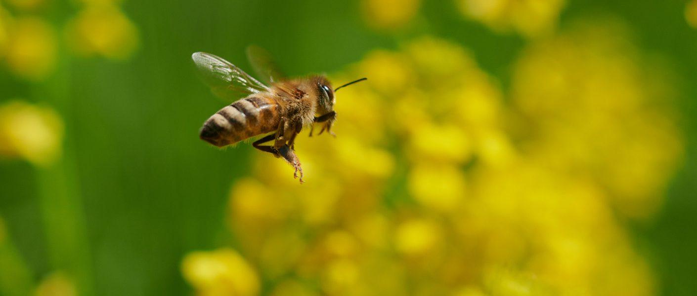 Okres prewencji dla pszczół – jak chronić owady?