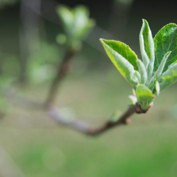 Kłopot jak co roku, czyli przędziorki w sadzie