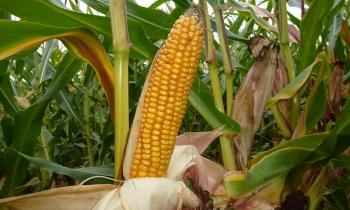 Sumi Agro Poland poleca − odmiany kukurydzy na 2016 rok