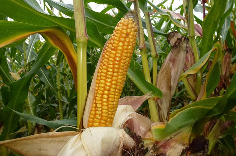 Kolba kukurydzy odmiany Veritis