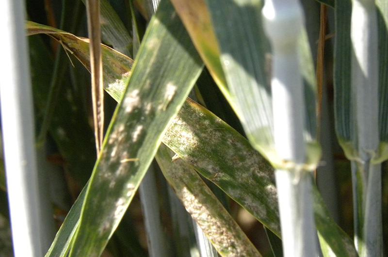 Objawy mączniaka prawdziwego zbóż i traw na pszenicy