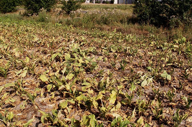 żerowanie przędziorka chmielowca na plantacji buraka cukrowego