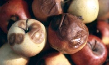 Topsin M 500 SC − Ochrona owoców przed chorobami przechowalniczymi