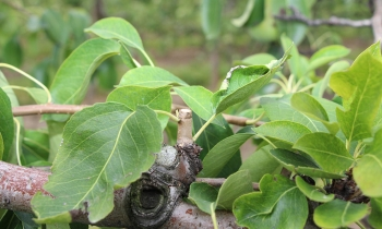 Walka z chorobami kory i drewna jesienią