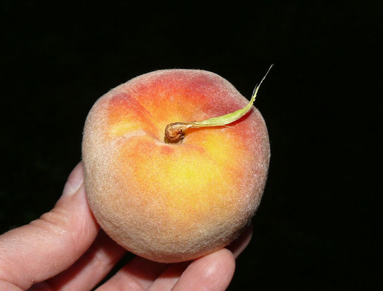 Podczas zbioru owoców może dochodzić donaderwania kory pędu