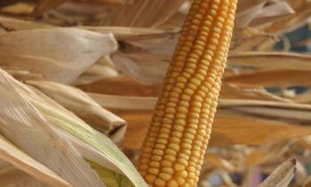 Odmiany kukurydzy na 2017 r. – poleca Sumi Agro Poland