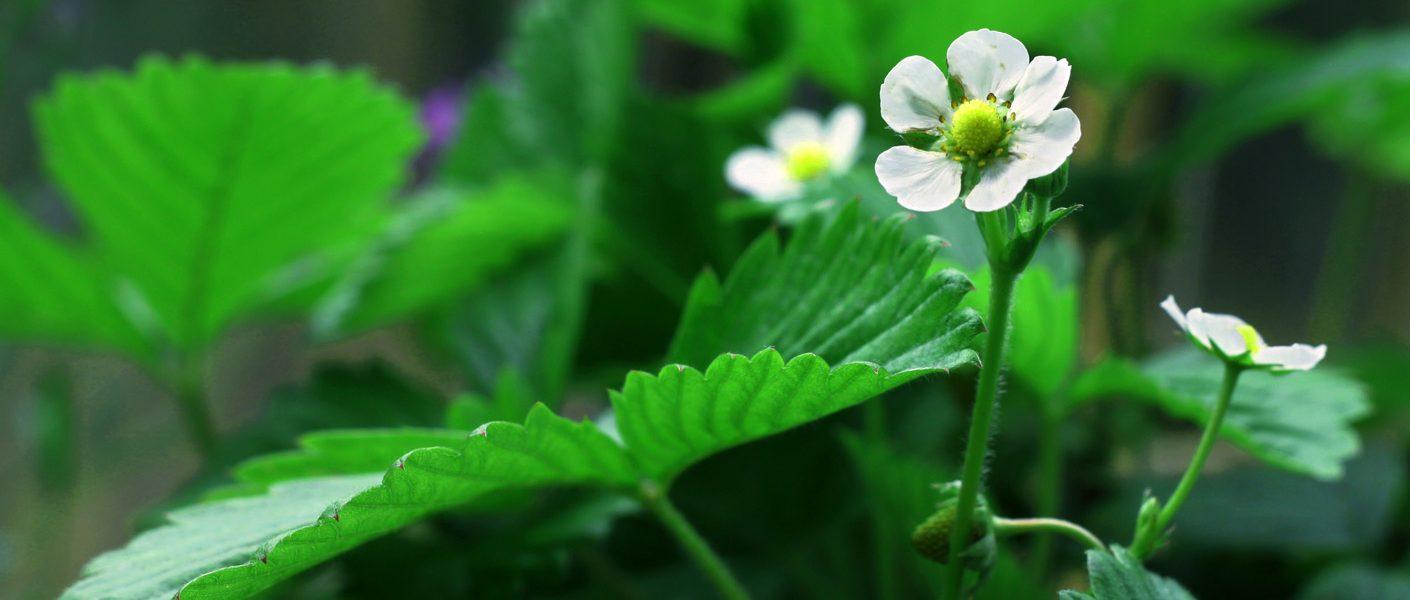Zwalczanie roztoczy w uprawie roślin jagodowych