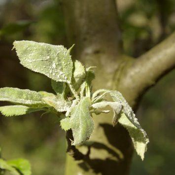 Mączniak jabłoni - szkodliwość i sposoby zwalczania
