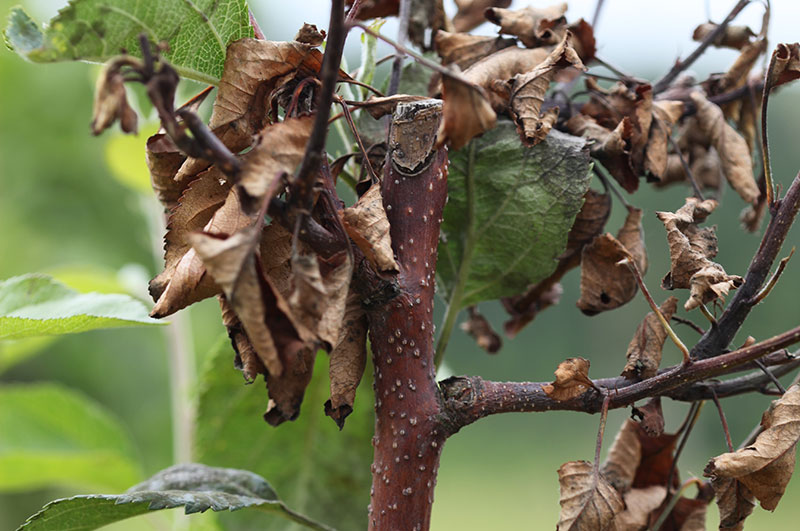 Zgorzel kory jabłoni - zakażenie przezranę pocięciu wierzchołka pędu