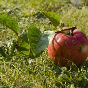 W duecie z fungicydem Topsin. Skuteczne zwalczanie parcha jabłoni.