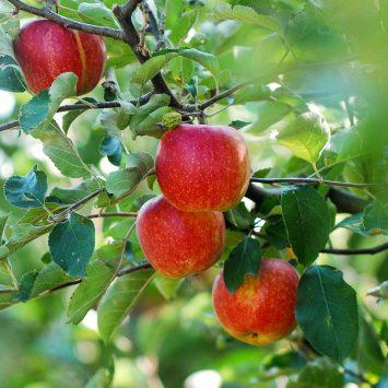 Sumi Agro wprowadzi na rynek innowacyjny biofungicyd Mevalone