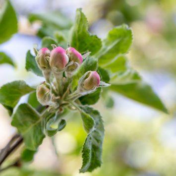 Zwalczanie mączniaka jabłoni w sadach