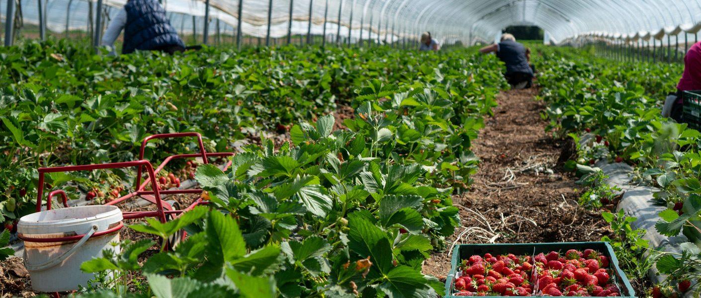 Zwalczanie szkodników w uprawach truskawek