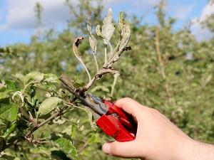 Obcinanie pędów jabłoni porażonych mączniakiem