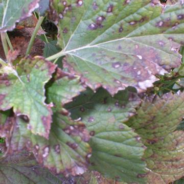 Biała plamistość liści porzeczki