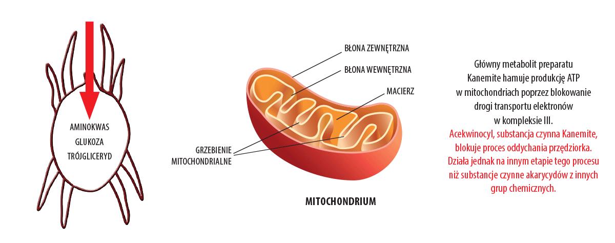 kanemite mitochondrium