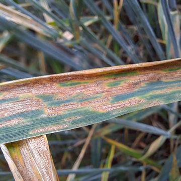 Septorioza paskowana liści pszenicy