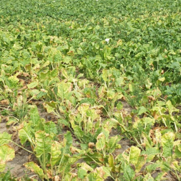 Ortus 05 SC – teraz także dla plantatorów buraka cukrowego