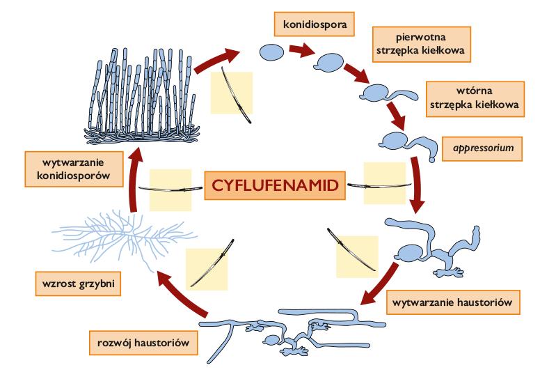 bushido dzialanie cyflufenamidu