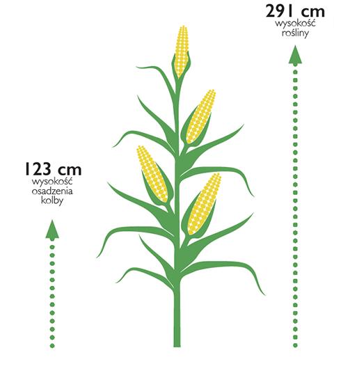kukurydza densiti wysokosc